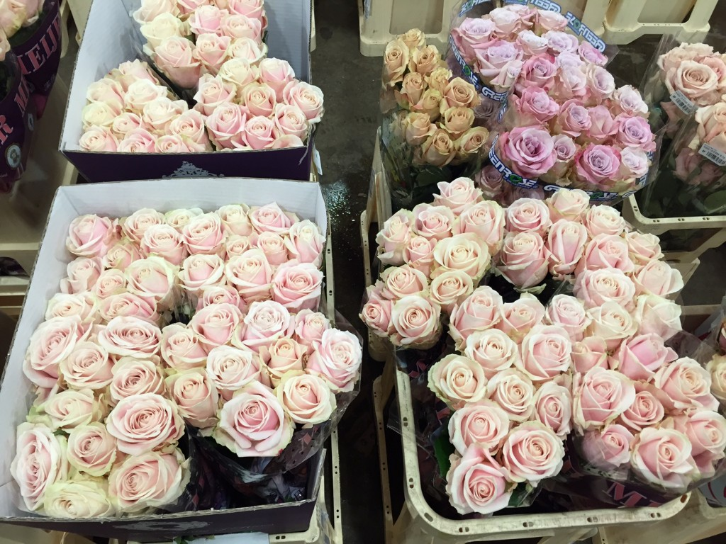 MP Roses