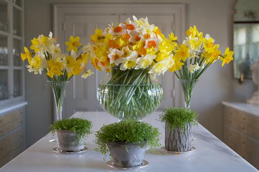 MP Daffodils